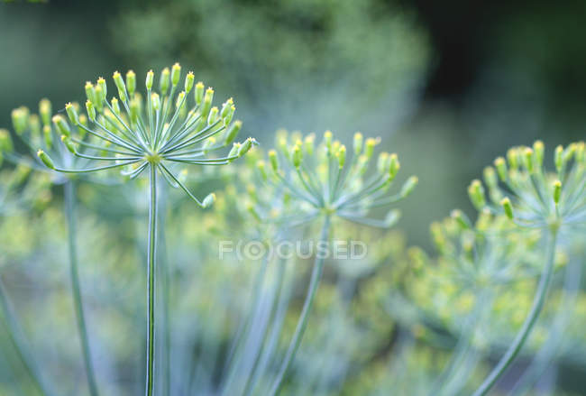 Cultivo planta de eneldo, cerca de las ramitas de hierbas - foto de stock