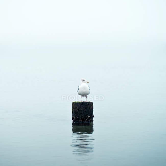 Чайка, сидя на дереве полюс в воде — стоковое фото