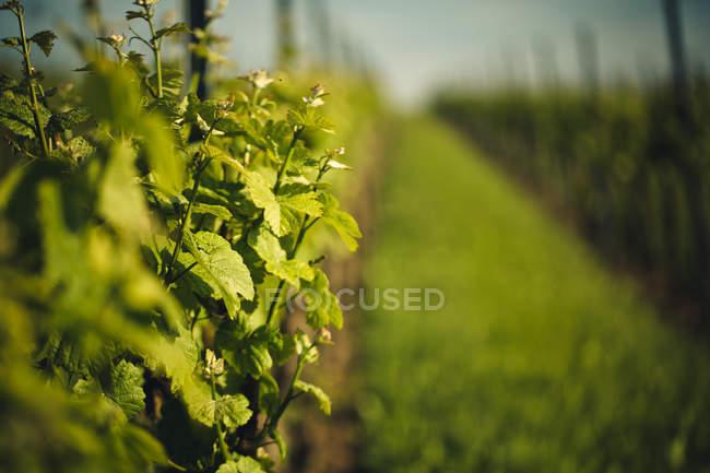Campo de agricultura, pátio de videira com as plantas e folhas verdes — Fotografia de Stock