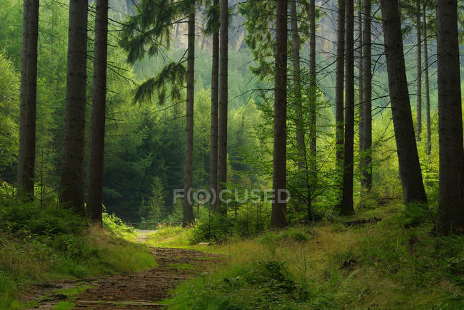 Forest with long trees and foot path trail — Stock Photo