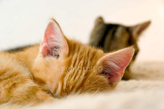 Two cats sleeping, animal ears — Stock Photo