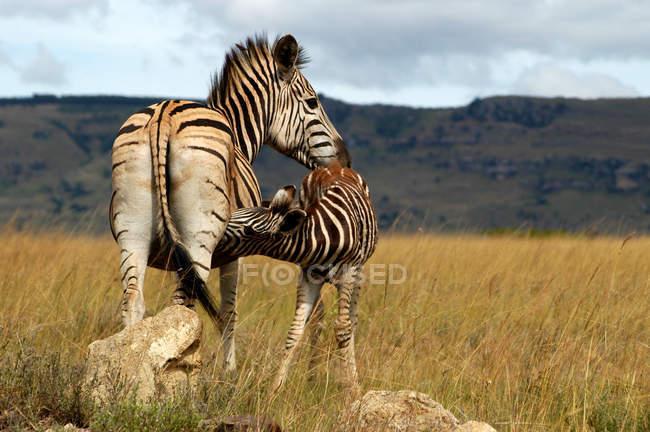 Животные семья, зебр в подала с травой — стоковое фото