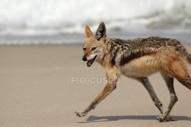 Sciacallo dalla gualdrappa in esecuzione sulla spiaggia di sabbia, vista laterale — Foto stock