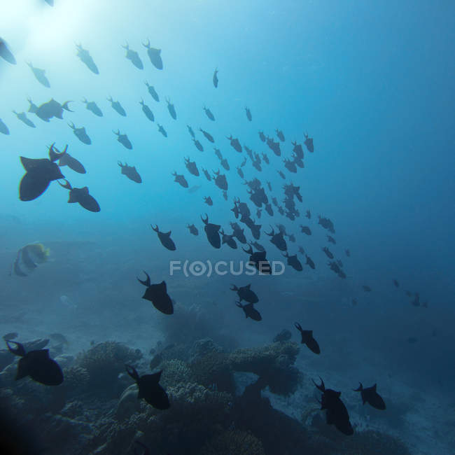 Trigger fishes in deep blue ocean water — Stock Photo