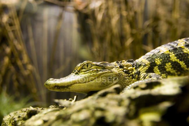 Lurking зелений Крокодил в природі — стокове фото