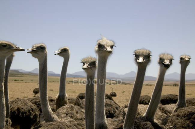 Aves avestruz na África, cabeças de avestruz, olhando para a câmera — Fotografia de Stock