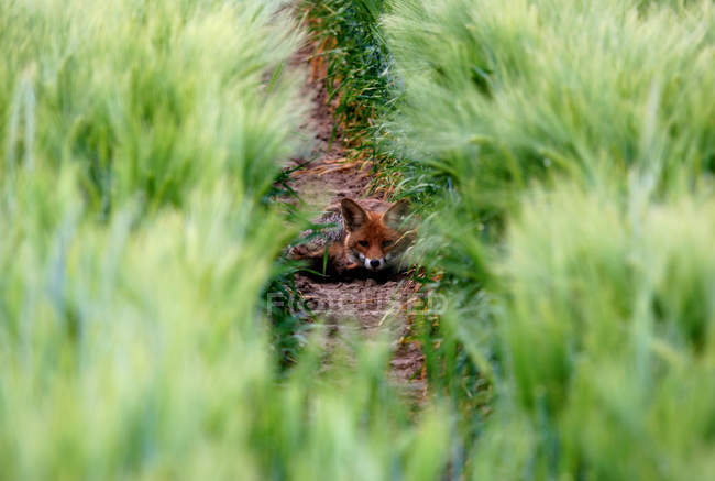 Red fox hiding in green grass meadow — Stock Photo