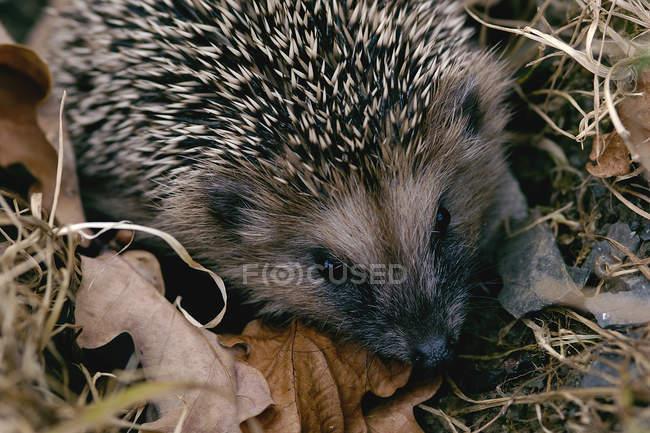 Primo piano del riccio europeo sui fogli d'autunno — Foto stock