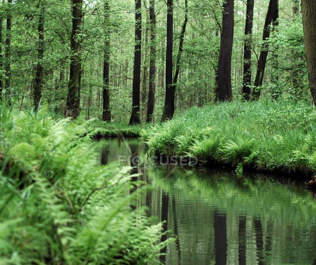 Floresta spree com grama verde e rio — Fotografia de Stock