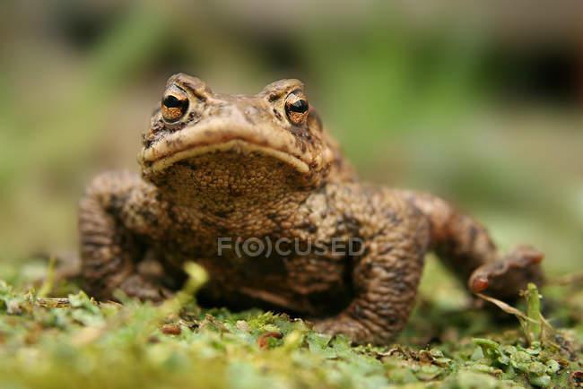 Primo piano del rospo che si siede nell'erba verde all'aperto — Foto stock
