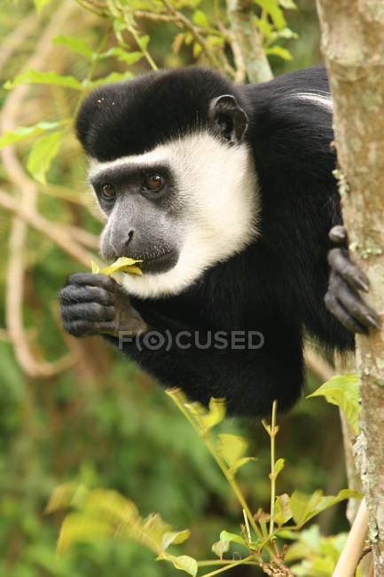 Primo piano della scimmia di colobus mangiare fogliame sull'albero — Foto stock