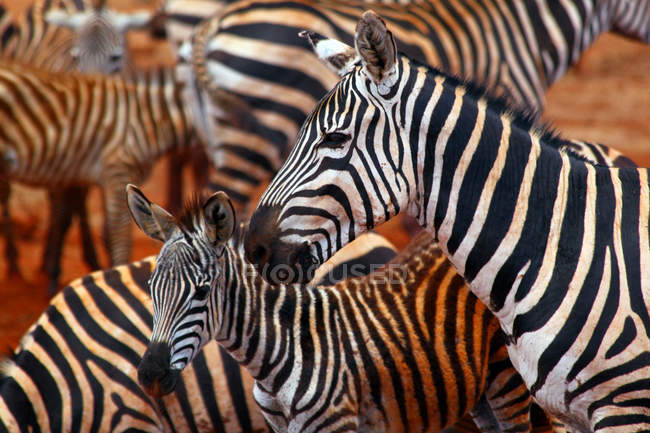 Gregge della zebra, famiglia degli animali — Foto stock