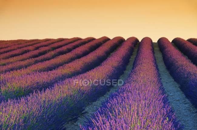 Lavanda campo abundância e pôr-do-sol céu — Fotografia de Stock