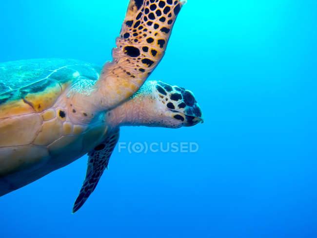Primo piano della tartaruga di mare nuotare sott'acqua — Foto stock