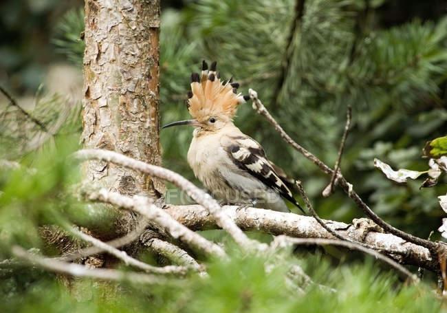 Hoopoe bird in summer forest — стоковое фото
