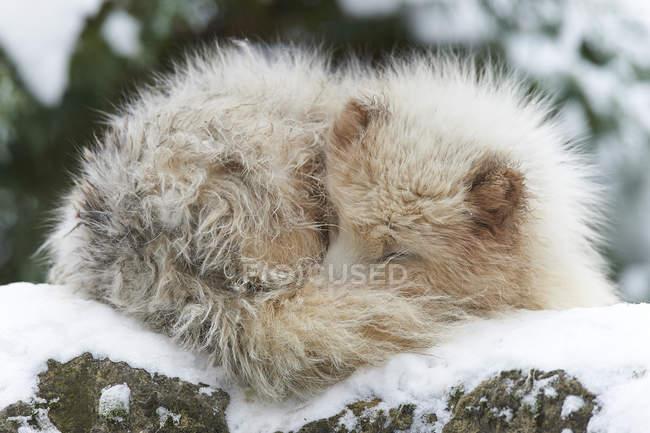 Спляча Песець в зимове хутро на снігу — стокове фото