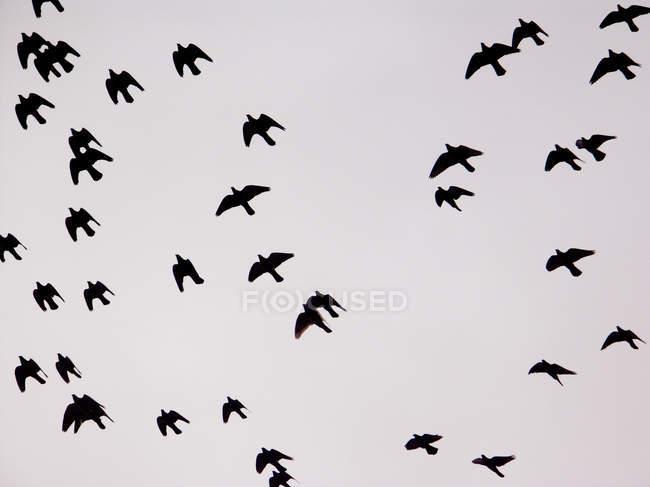 Uccelli di volo nel cielo grigio, fotografia di uccelli telaio completo — Foto stock