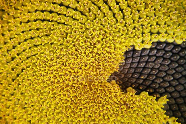 Macro shot pf girassol amarelo com sementes — Fotografia de Stock