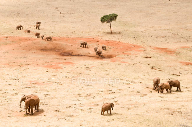 Elephants in desert land of savannah safari — Stock Photo