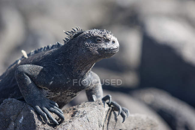 Lizard animal, iguana on rock — Stock Photo
