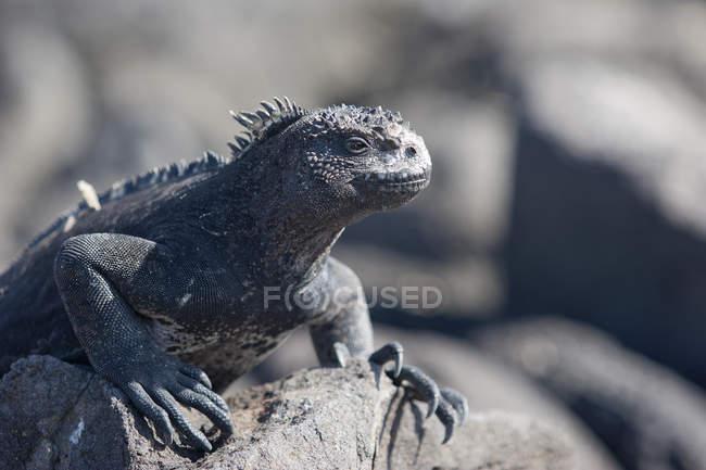 Iguana animale, lucertola sulla roccia — Foto stock