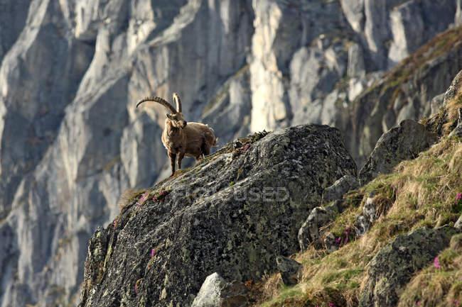 In piedi di stambecco alpino sulle rocce nel paesaggio della montagna — Foto stock