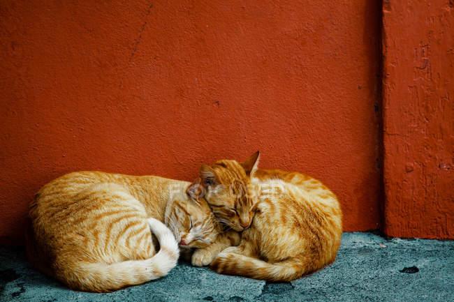 Две рыжие кошки спят у красной стены — стоковое фото
