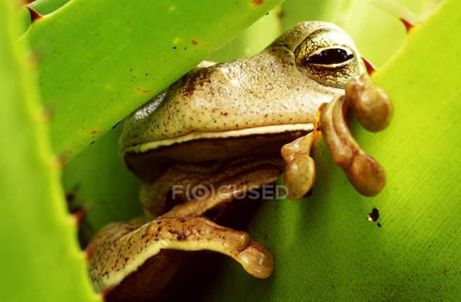 Primo piano della rana di nascondersi dietro la foglia verde — Foto stock
