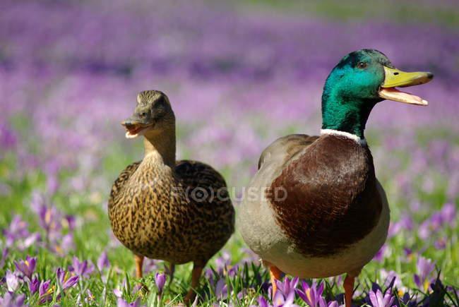 Кряканье уток в летних поле с фиолетовыми цветами Крокус — стоковое фото