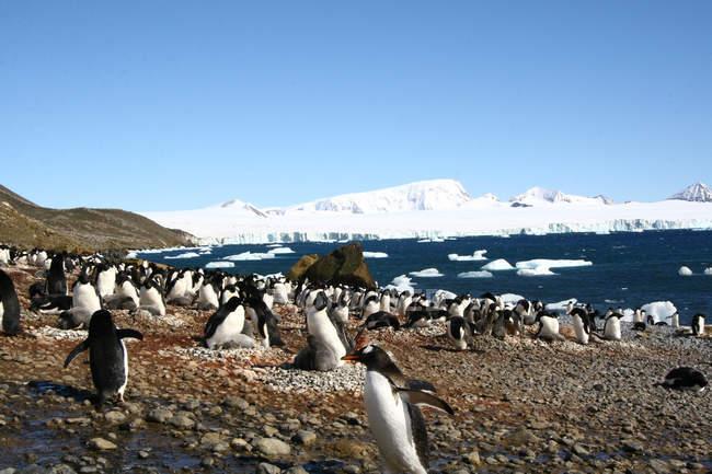 Пингвинов в Антарктике, вечных льдов и колонии пингвинов — стоковое фото