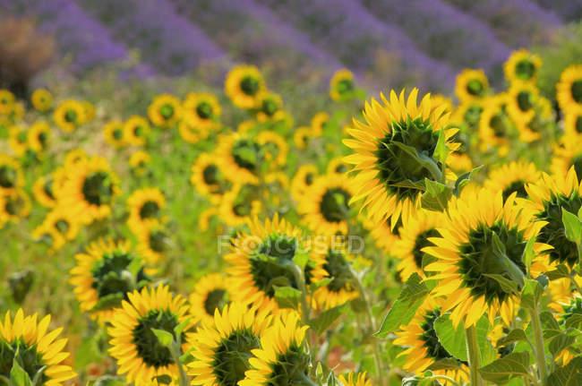 Желтый подсолнухи, растущих в поле — стоковое фото