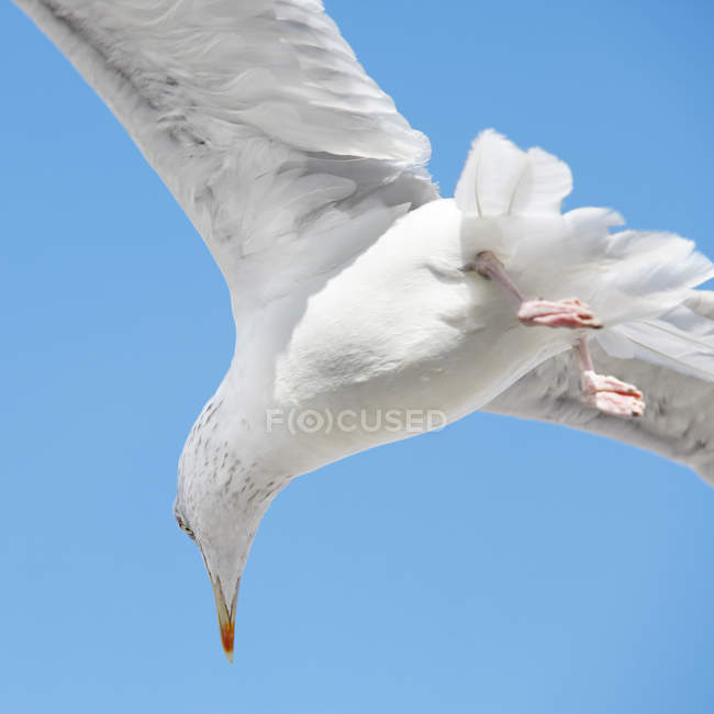 Flying white seagull in clear blue sky — Stock Photo