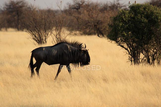 Wildebeest blu cammina sulla prateria in Africa — Foto stock