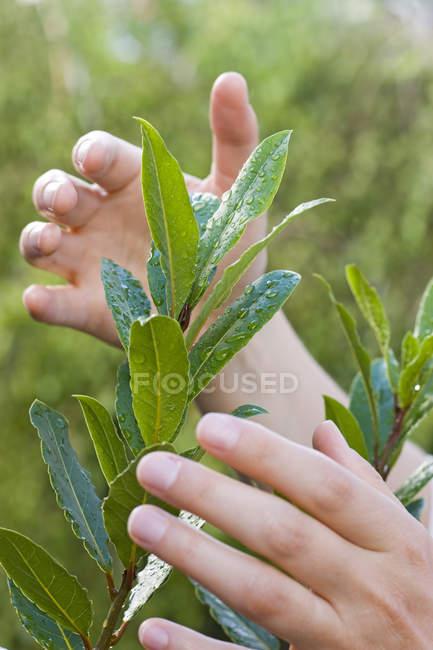 Vue partielle des mains féminines en prenant soin des plantes vertes feuilles — Photo de stock