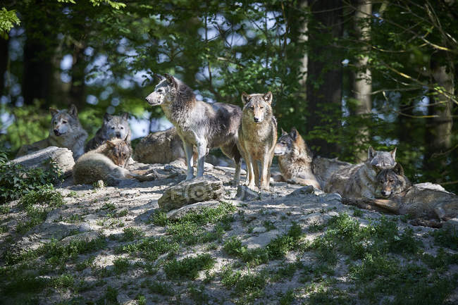 Wolves in summer forest, animals in the wild — Stock Photo
