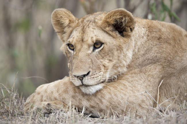 Löwe Jungtier ruht auf dem Rasen — Stockfoto