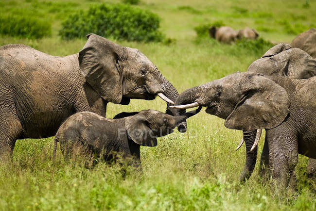 Full length of elephants family outdoors in nature of Africa, Tanzania — Stock Photo
