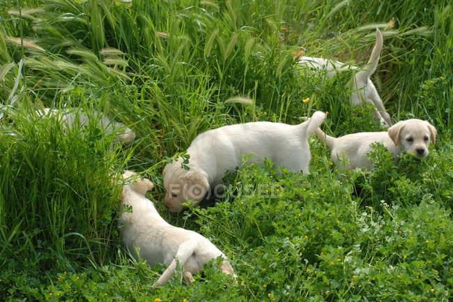 Золотистые ретривер щенки в зеленой траве — стоковое фото