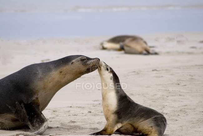 Seals outdoors kissing each other and sniffing — Stock Photo