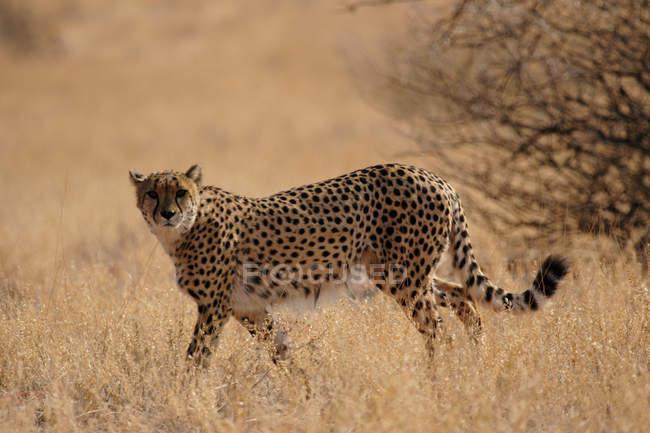 Guepardo caminando por la pradera de pastizales en África - foto de stock