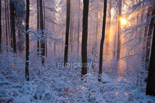 Nascer do sol na neve e geada cobertos de floresta com árvores — Fotografia de Stock