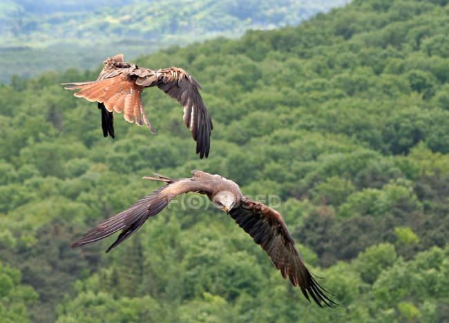 Cervo volante rosso uccelli di volo — Foto stock