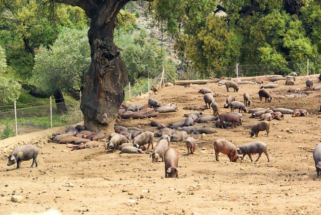 Домашние свиньи на сельской ферме на открытом воздухе — стоковое фото