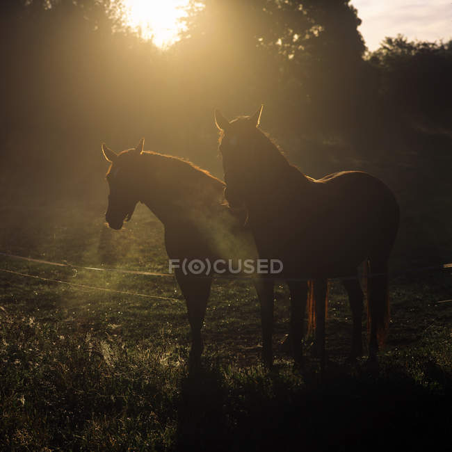 Field with horses and trees with sunbeams — Stock Photo