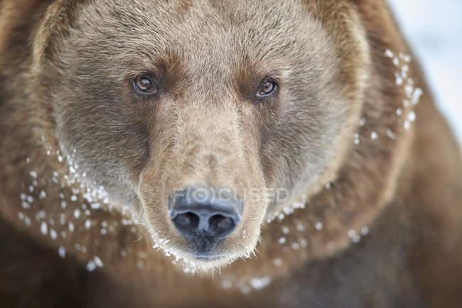 Крупним планом бурий ведмідь у зимовий pelt вкрите снігом — стокове фото