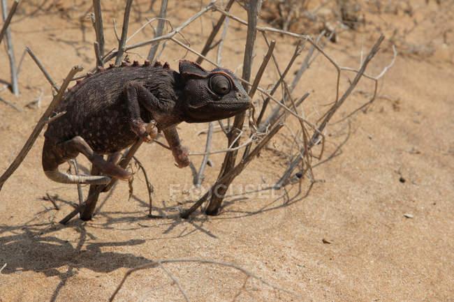 Chameleon che si siede in ramoscelli di bush sulla sabbia del deserto — Foto stock