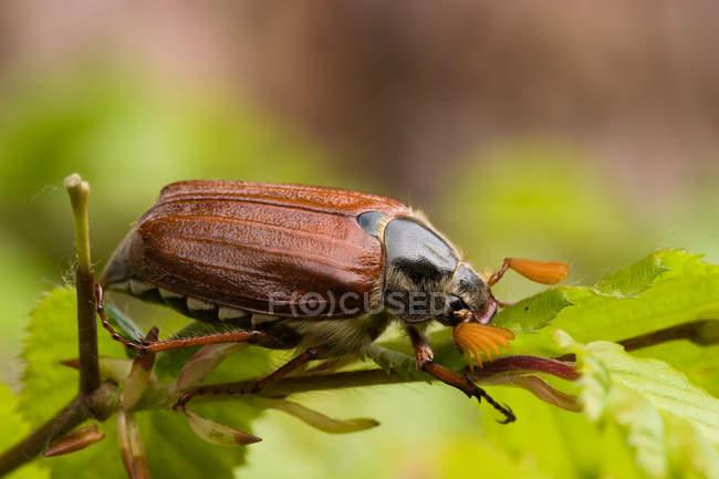 Coléoptère sur feuille verte, bug de hanneton — Photo de stock