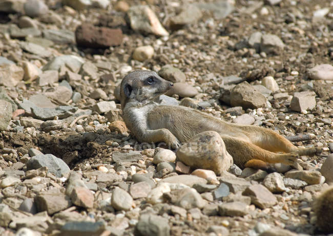 Resting and lying meerkat on rocky ground with stones — Stock Photo