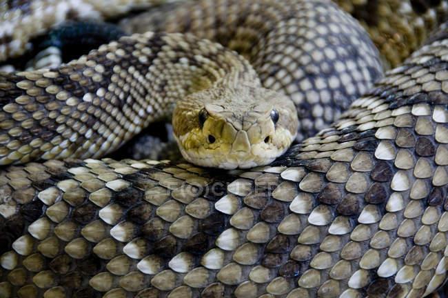 Closeup de las escalas de la serpiente venenosa - foto de stock