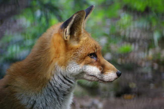 Closeup de zorro mirando lejos al aire libre - foto de stock